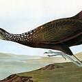 Audubon: Limpkin by Granger