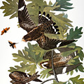 Audubon: Nighthawk by Granger
