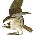 Audubon: Osprey by Granger
