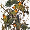 Audubon: Parakeet by Granger