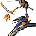 Audubon: Passenger Pigeon by Granger