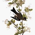 Audubon: Pewee, 1827-38 by Granger