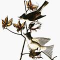 Audubon: Phoebe by Granger