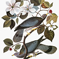 Audubon: Pigeon by Granger