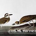 Audubon: Plover, 1827-38 by Granger