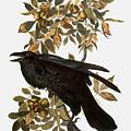 Audubon: Raven by Granger