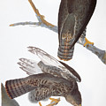 Audubon: Red-tailed Hawk by Granger