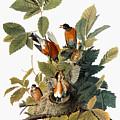 Audubon: Robin by Granger