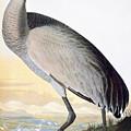 Audubon Sandhill Crane by John James Audubon