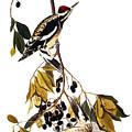 Audubon Sapsucker, 1827-38 by John James Audubon