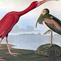 Audubon: Scarlet Ibis by Granger