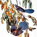 Audubon: Scrub Jay, 1827-38 by Granger