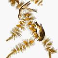 Audubon: Siskin by Granger
