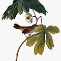 Audubon: Sparrow, 1827-38 by Granger
