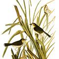 Audubon: Sparrow, (1827) by Granger