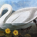 Audubon: Swan, 1827 by Granger