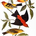 Audubon: Tanager, 1827 by Granger