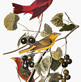 Audubon: Tanager by Granger