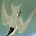Audubon: Tern by Granger
