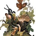 Audubon: Thrasher by Granger