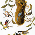 Audubon: Titmouse by Granger
