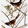 Audubon: Towhee by Granger