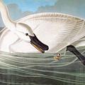 Audubon: Trumpeter Swan by Granger