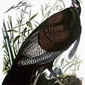 Audubon: Turkey by Granger