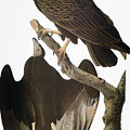 Audubon: Turkey Vulture by Granger