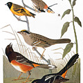 Audubon: Various Birds by Granger