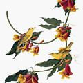 Audubon: Vireo, 1827-38 by Granger