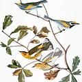 Audubon: Warbler, (1827-1838) by Granger