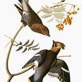 Audubon: Waxwing by Granger