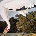 Audubon: Whooping Crane by Granger