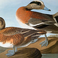 Audubon: Wigeon, 1827-38 by Granger