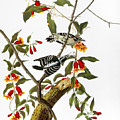 Audubon: Woodpecker, 1827 by Granger