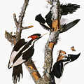 Audubon: Woodpecker by Granger