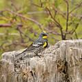 Audubon's Yellow Rumped Warbler by Dennis Hammer