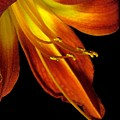 August Flame Glory Watercolor by Carolyn Jacob