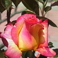 Aurora Color Rose Bud. Wow by Sofia Metal Queen
