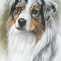 Aussie Shepherd Portrait by Barbara Keith