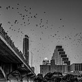 Austin Bat Watch Black And White by Tod and Cynthia Grubbs