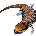 Australia Blue-tongued Skink by Corey Ford