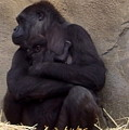 Australia - Baby Gorilla In Mums Arms by Jeffrey Shaw
