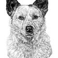 Australian Cattle Dog by Dan Pearce