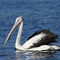 Australian Pelican B by Tony Brown