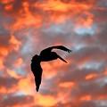 Australian Pelican Silhouette by Tony Brown