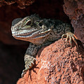 Australian Water Dragon by Arterra Picture Library
