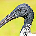 Australian White Ibis by Miroslava Jurcik