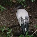 Australian White Ibis by Rich Bodane